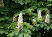 Aesculus Hippocastanum (castan ornamental)