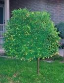 Caragana arborescens pendula (Salcam galben curgator)