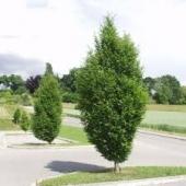 Carpinus betulus (carpen)