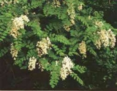 Robina pseudoacacia (salcam)