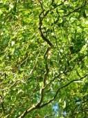 Salix matsudana Tortuosa