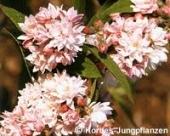 """Deutzia hybrida """"Pink Pompon"""