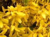 Hypericum Calicinum