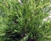 Juniperus chinensis Hetzi