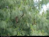 Pinus Grifithii
