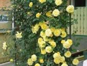 Trandafiri cataratori