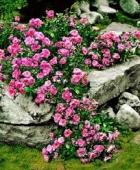 Trandafiri taratori
