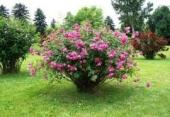 Trandafiri tufe