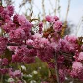 Prunus Serrulata kiku-shidare-zakura (cires japonez pendul), h=~2,2m