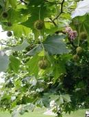 Platanus Acerifolia (Platan), h= 2,5-3 m