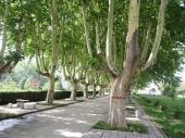 Platanus Acerifolia (Platan) h= 1,8-2 m