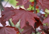"Acer Platanoides ""Royal Red"" h= 2,4-3 m"