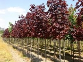 """Acer Platanoides """"Royal Red"""" h= 2,4-3 m"""