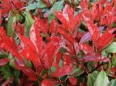 Photinia Red Robin, H=~30 cm