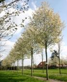 AMELANCHIER (arbore de stafide), h= 3-3,5 m