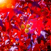 LIQUIDAMBAR Styraciflua, H= ~230 cm