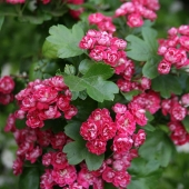 "CRATAEGUS MEDIA ""PAUL'S SCARLET"", h= ~3 m"