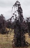 """Fagus sylvatica """"Purple Fountain"""", H= 1,7 - 2 m"""