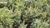 Picea pungens Glauca, H= ~40 cm
