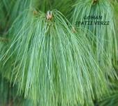 Pinus wallichiana (pin de Himalaia), h= ~40 cm