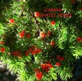 Taxus baccata (Tisa), h= 60-70 cm