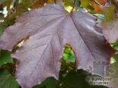 Acer platanoides Crimson King (Artar rosu), h = ~ 4 m