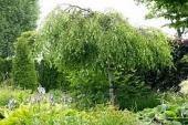 """Betula pendula """"Youngii"""" (mesteacan pendul), H= 2,3 - 2,5 m"""