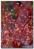 COTINUS COGGYGRIA ROYAL PURPLE   - 50-70 cm